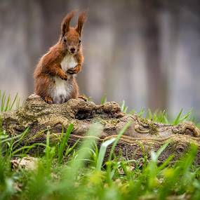 Posing squirrel by Adrian Ioan Ciulea - Animals Other Mammals ( park, grass, cute, woods, posing, squirrel,  )
