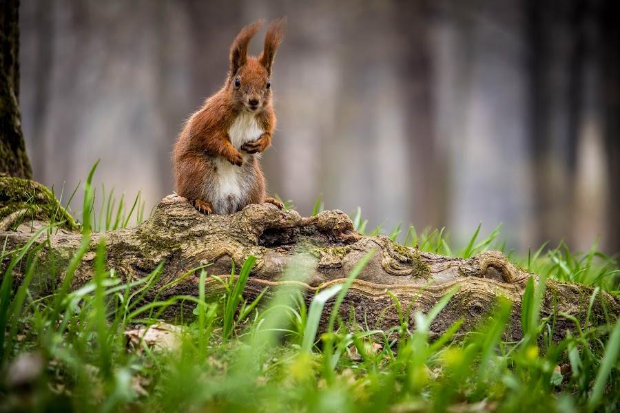 Posing squirrel by Adrian Ioan Ciulea - Animals Other Mammals ( park, grass, cute, woods, posing, squirrel,  )