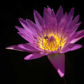 Water Lily by Kaniz Khan - Flowers Single Flower ( purple, lily, bee, insect, water lily, flower,  )