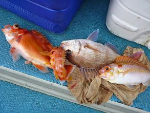 Photo: げげっ! 一撃でアカイサキ、アラカブ、真鯛、タマガシラ・・・なんちゅう組み合わせ!