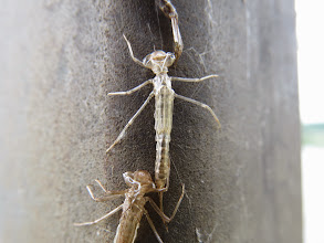 Photo: 21 Jun 13 Priorslee Lake: When I saw these in the same area I assumed they were stoneflies, but looking at the photos they have very large eyes and would seem to be emergent damselflies yet to 'pump-up' (Ed Wilson)