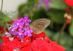 Photo: Aphantopus hyperantus    Lepidoptera Nymphalidae