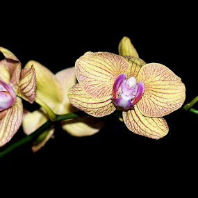 Yellow orchid by Agus Junam - Nature Up Close Flowers - 2011-2013