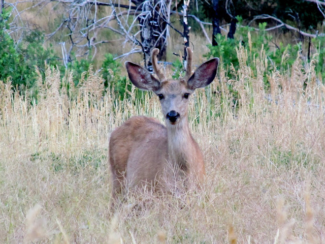 Deer in North Walker Canyon