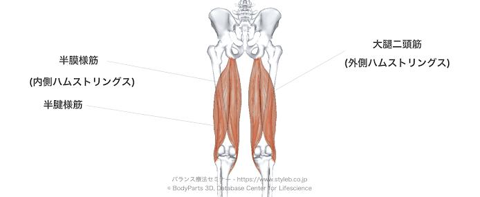 「ハムストリングス 解剖学 フリー」の画像検索結果