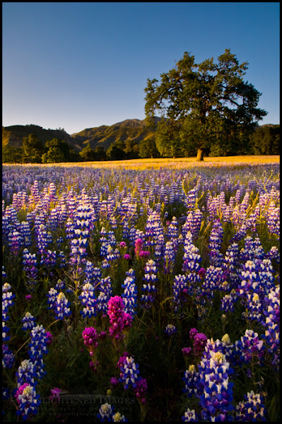 Photo: Field of Lupine and Owl's Clover wildflowers in Spring, Ventana Wilderness, Los Padres National Forest, California  A quick and perhaps late share for #PanoPoker theme Wildflowers in the Landscape, curated by +Mike Spinak, +Barry Blanchard, & guest curator +Tony Payne
