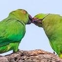 Rose-ringed parakeet / ring-necked parakeet
