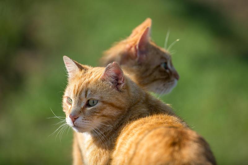 gatto rosso a due teste di Gab68