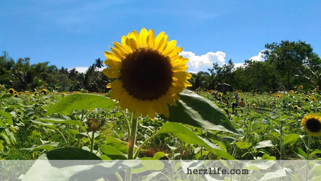 Short Visit at the Sunflower Farm in San Andres