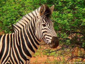 Photo: AFRIQUE DU SUD-Zèbre dans la réserve privée de Makalali près du Parc Kruger.