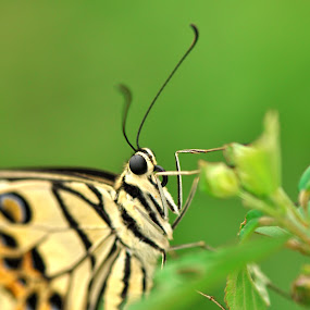 Looking to My Eyes by Irfan Marindra - Animals Insects & Spiders ( butterfly, macro, insects )
