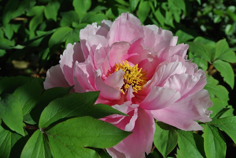 pennellate leggere di rosa al mattino di francescafotog