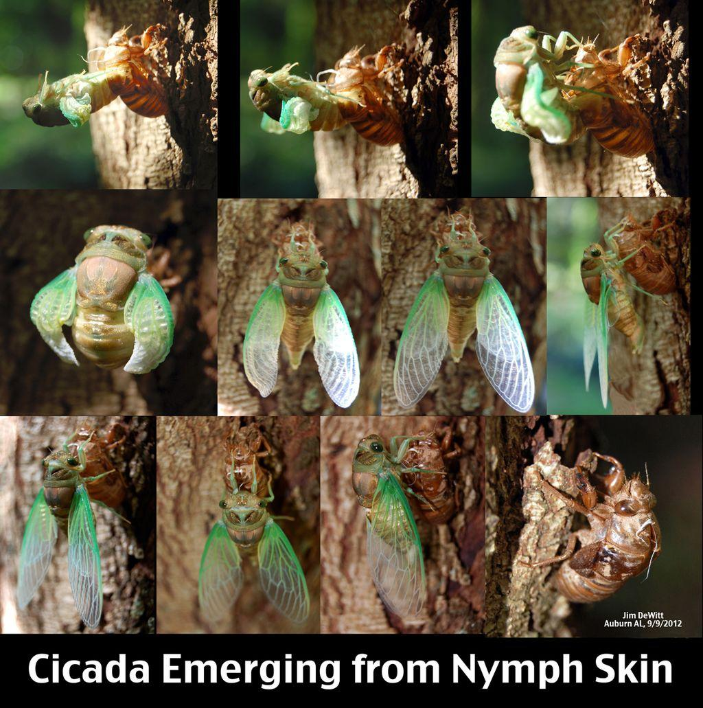 https://upload.wikimedia.org/wikipedia/commons/thumb/e/e6/Adult_Cicada_Emerging_from_Nymph_Skin.jpg/1024px-Adult_Cicada_Emerging_from_Nymph_Skin.jpg