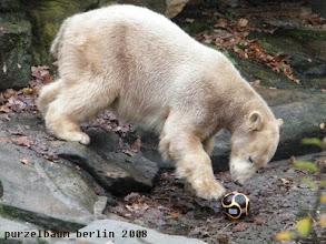 Photo: Knut ist nun wach und hat einen Ball entdeckt ;-)