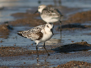 Photo: #BirdPoker Portraits curated by +Phil Armishaw  An immature Sanderling wondering why I'm sitting on the wet sand like a fool.