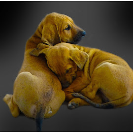Brothers... by Morris Kleyman - Animals - Dogs Puppies ( sleeping..., animals, puppies, age, colors,  )