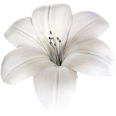 Lily Flower 3D