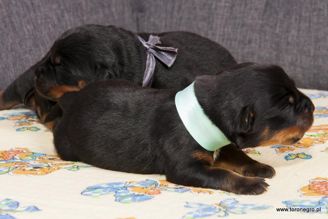 mały samczyk rottweilera