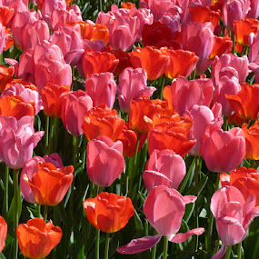 It's tulips time Vll. by Helena Moravusova - Flowers Flower Gardens ( tulips, flowers, spring )