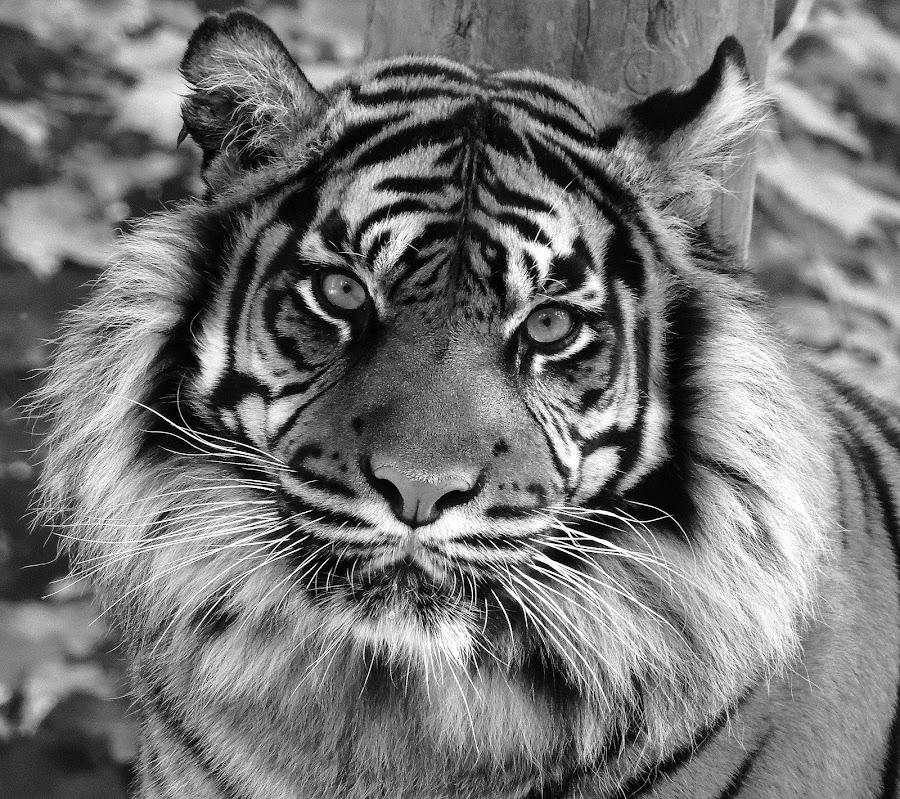 Daseep by Kathryn Willett - Animals Lions, Tigers & Big Cats ( big cat, tiger, captive, mono, portrait,  )