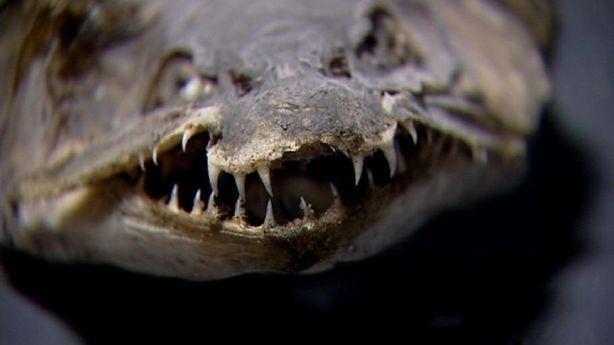 Fanged fish creating mystery at Brigham City pond | KSL.com