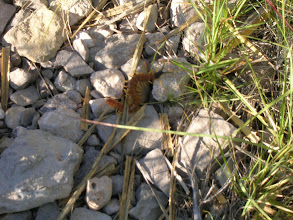 Photo: On the loop trail from the campground to the foot of the Bear Canyon trail, Oscar spots this deadly centipede.