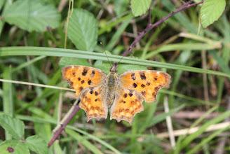 Photo: Polygonia C- album        Lepidoptera Nymphalidae