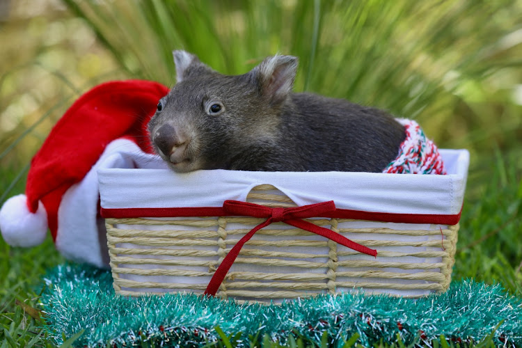 A baby wombat is seen among decorations while celebrating its first Christmas at the Australian Reptile Park in Somersby, Australia, December 15, 2020, in this picture obtained from social media.