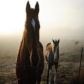 APS Theme - Horses