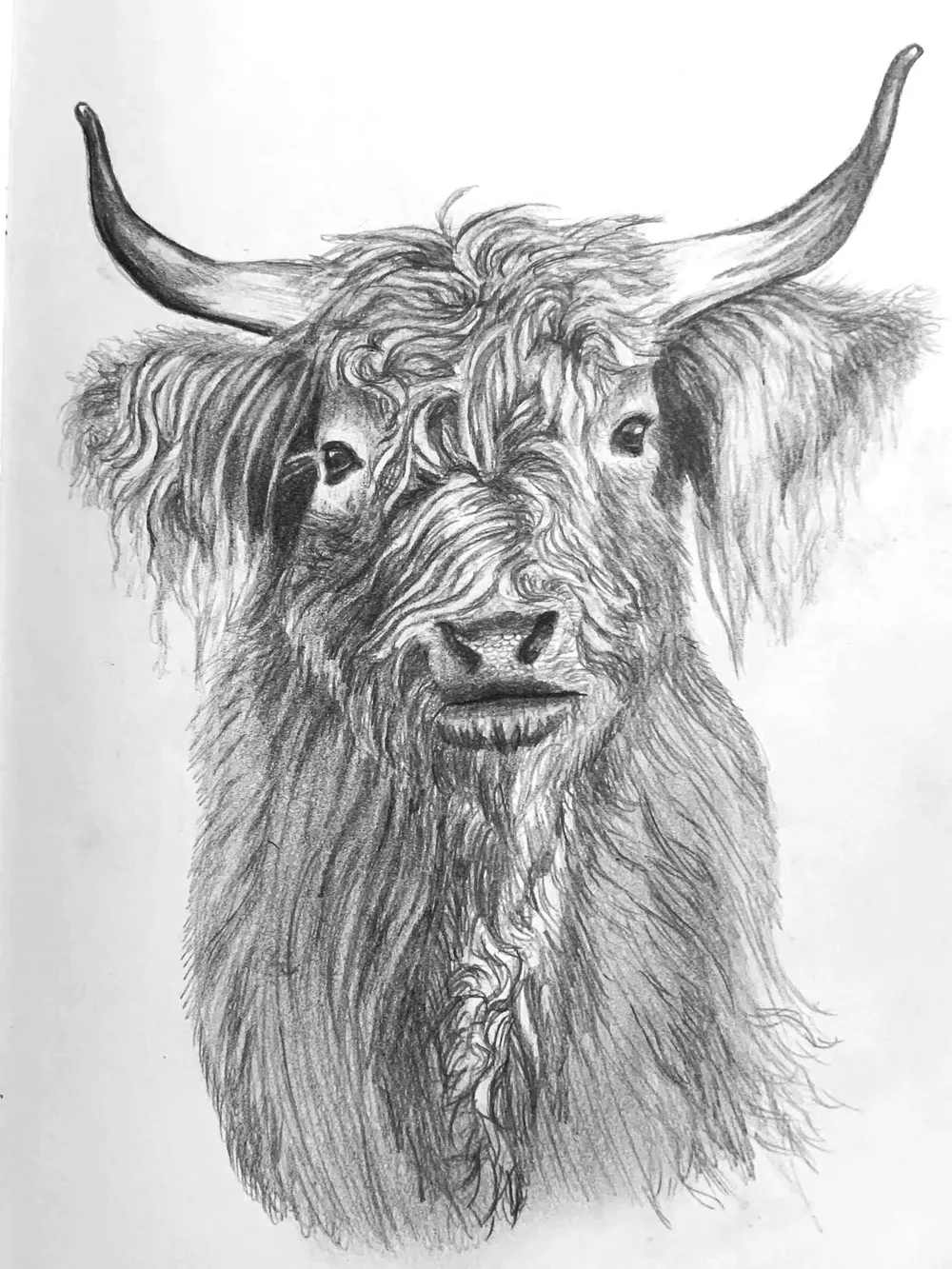 hairy cow drawing