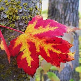 Fall Splendor by Carol Keskitalo - Novices Only Flowers & Plants ( fall leaves, fall, nature up close, leaves )