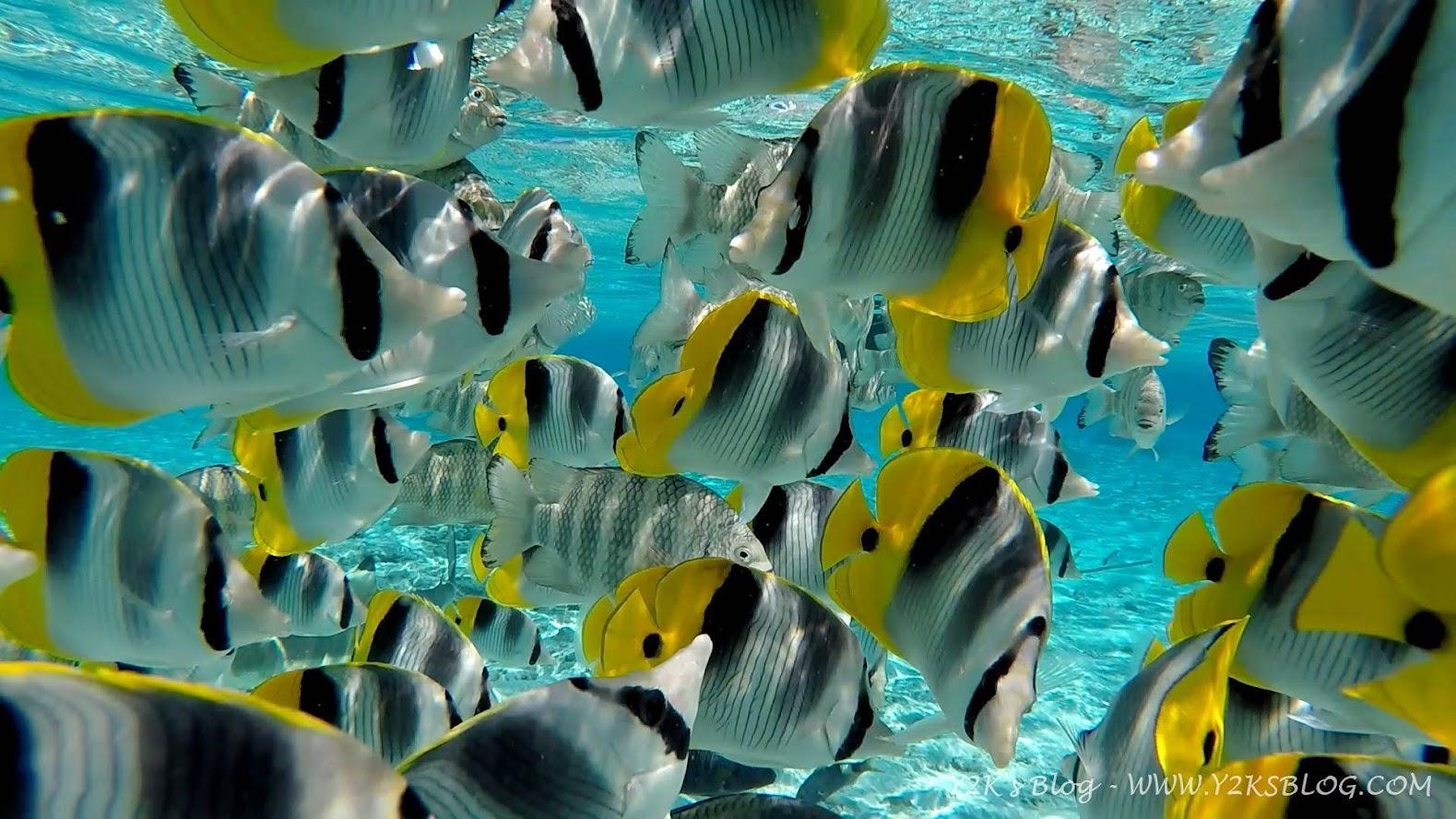 """I curiosi e """"molesti"""" pesci farfalla - Bora Bora"""