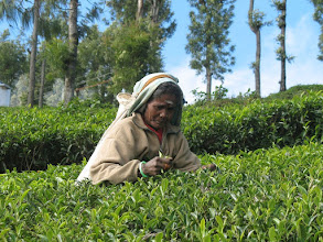 Photo: 7B220943 na plantacji herbaty