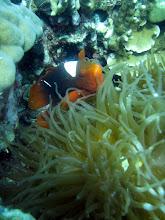 Photo: Premnas biaculeatus