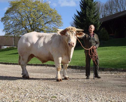 ferme de travailles vente direct producteur vache charolaise clement