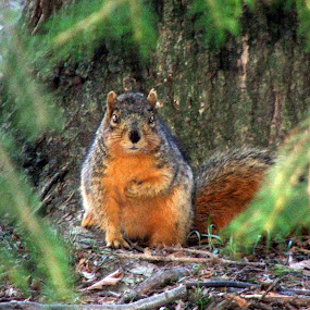 Posing Pretty by Judy Soper - Animals Other Mammals ( red, hunting, tail, posing, squirrel )