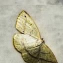 Mariposa-Microxydia / Microxydia Moth