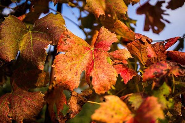 Vite in autunno di StePh