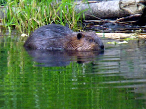 Photo: Beaver like to snack on the tender shoots of shrubs