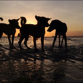 Silhouette Pets!!! by Dickson   Shia - Animals - Dogs Playing ( pets, sunset, silhouette, dog, sea,  )