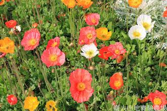 Photo: 拍攝地點: 梅峰-一平台 拍攝植物: 冰島虞美人 拍攝日期: 2014_04_16_FY