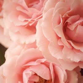 pink roses by Brenda Shoemake - Flowers Flower Buds (  )