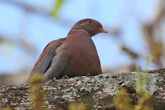 Photo: Red-billed Pigeon