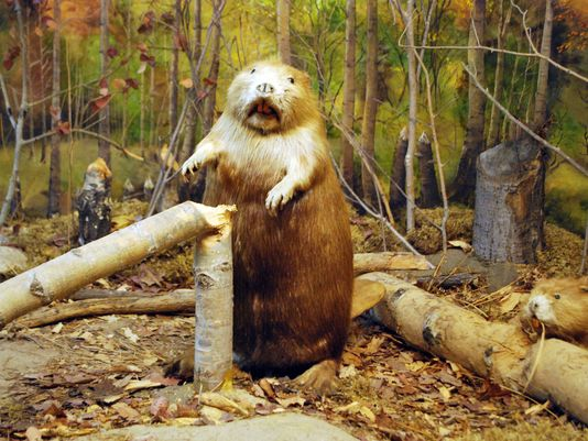 Image result for beaver pictures