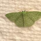 Wavy Lined Emerald Moth