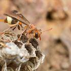 ropalidia social wasp