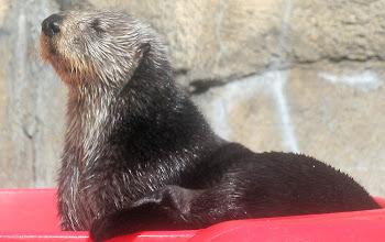 Photo: Captive Sea Otter @ Monterey Bay Aquarium, Monterey CA