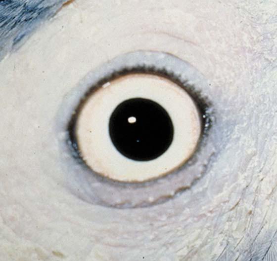 The iris of a mature African grey
