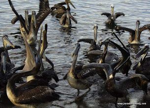 Photo: Excited pelicans at the boat docks in San Blas!