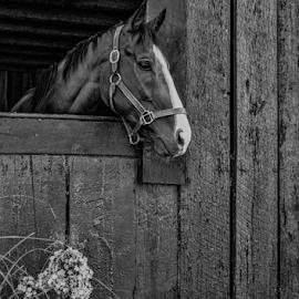 Mikalya's Horse by Gwen Paton - Animals Horses ( horse, barn, black and white, ohio, kentucky,  )